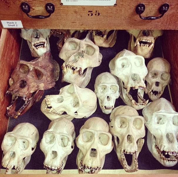 gorilla skulls.png
