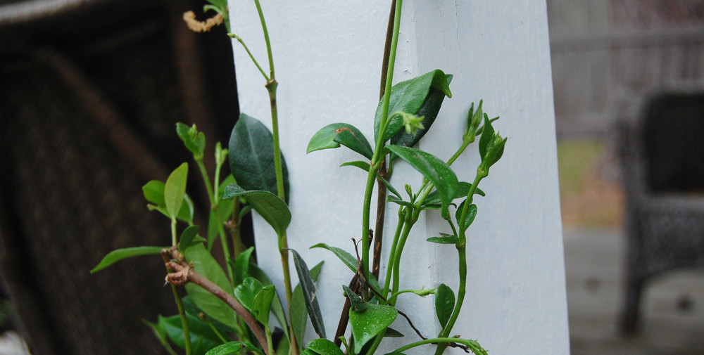 Star Jasmine vines are beginning their ascent up the posts of the covered back patio Kristian built last year.