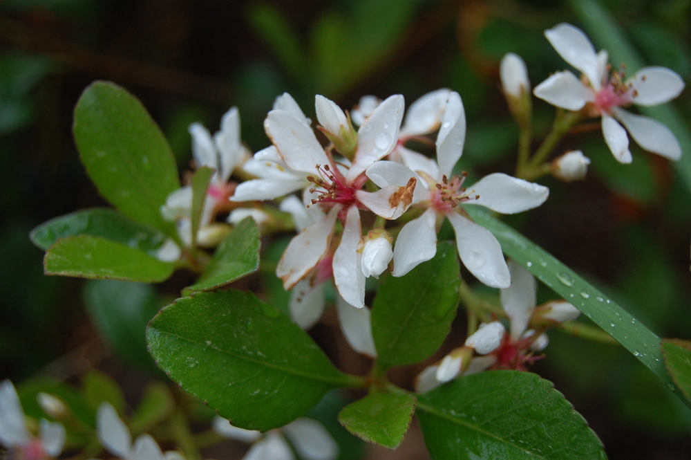 Snow White Indian Hawthorn bushes, currently in bloom, create a small hedge right off our front porch.