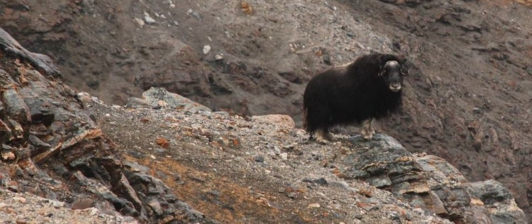 Musk-Ox (photo credit: Alexandra Rose)