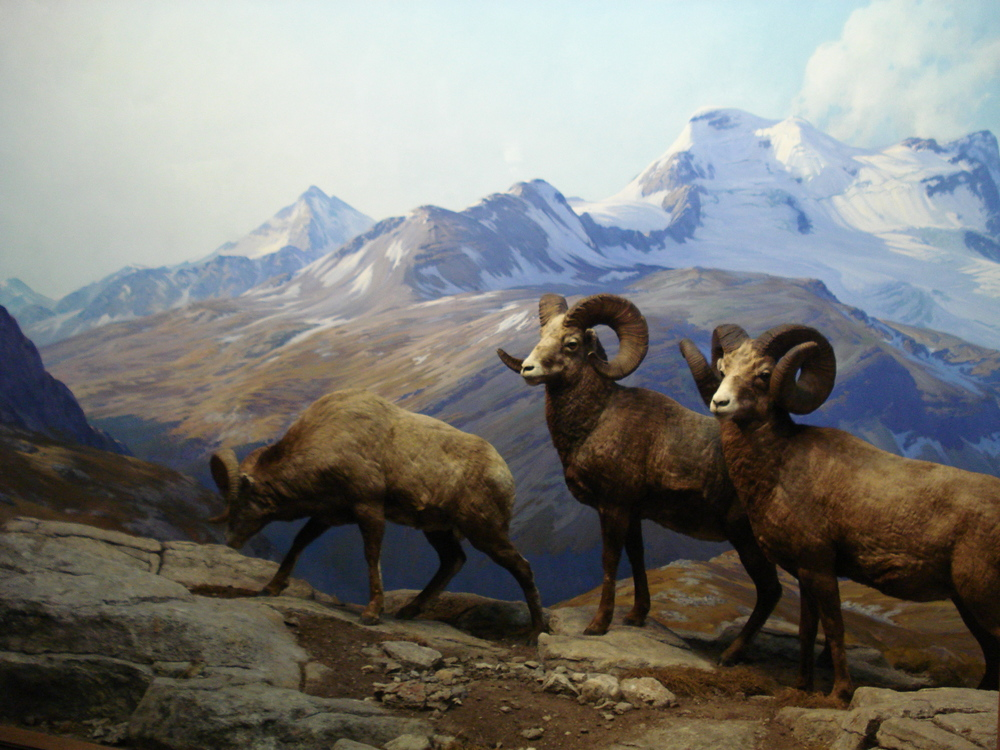 AMNH diorama. Big horn sheep. Hall of North American mammals.