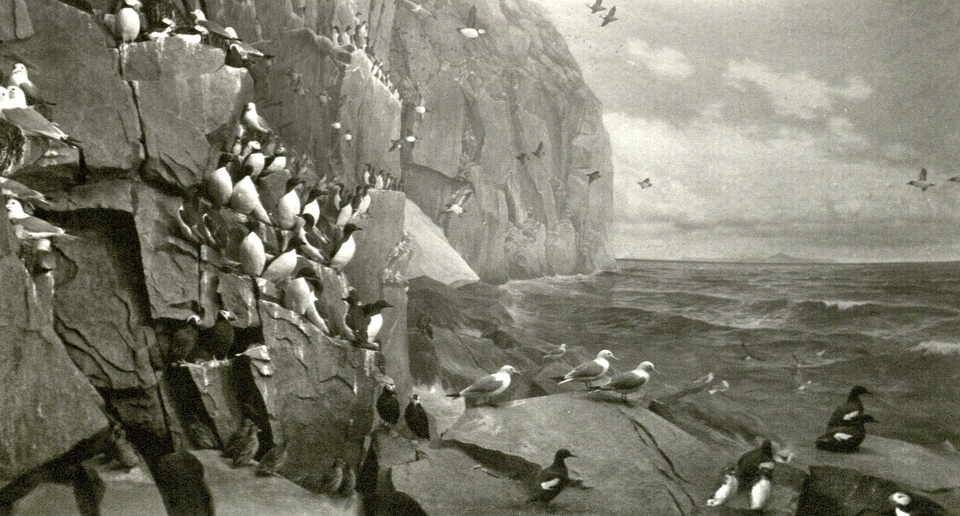 AMNH. Whitney Hall. Guillemots and Seagulls and the odd Puffin.