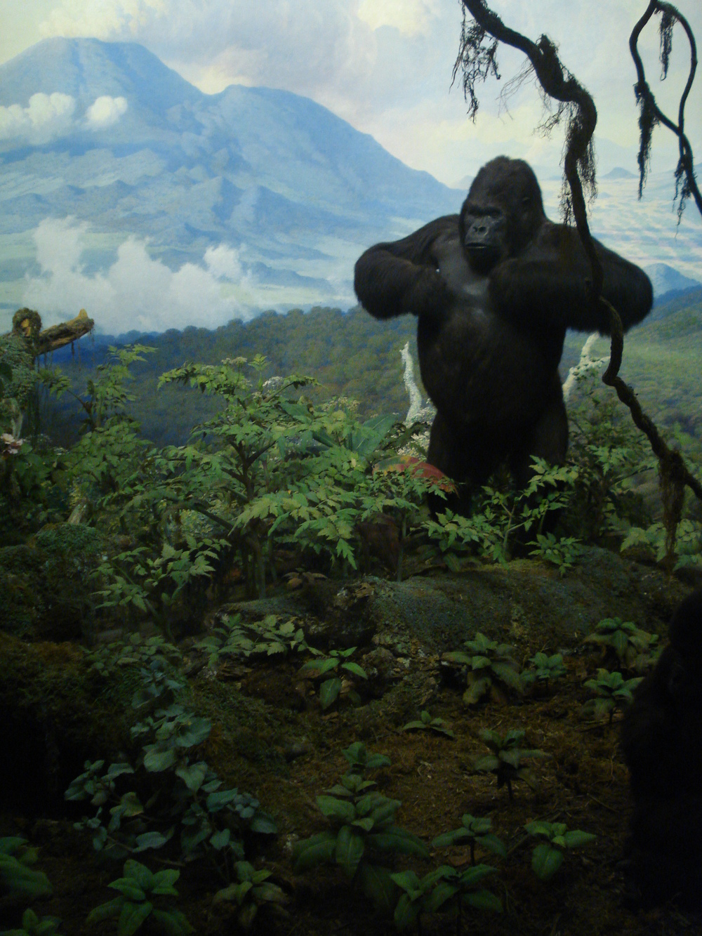 Gorilla group, AMNH, New York.