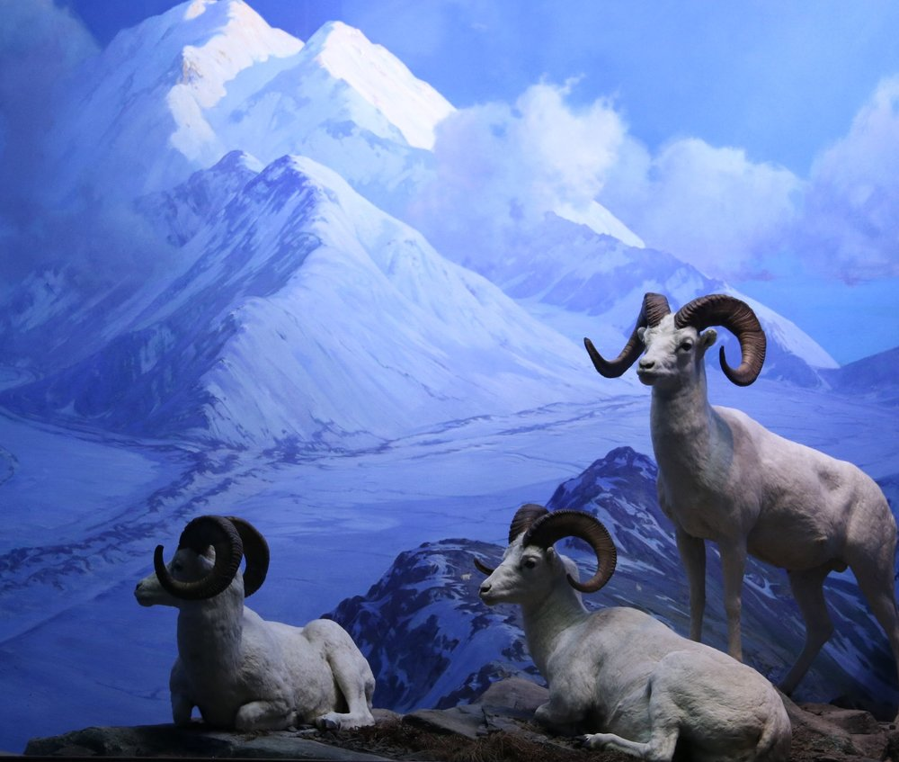 white sheep 01.JPG