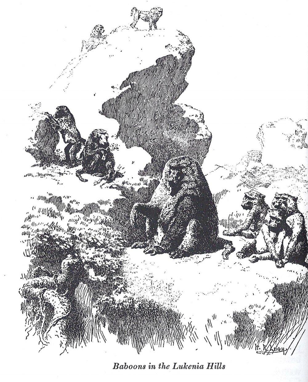 Baboons in Lukenia hills.