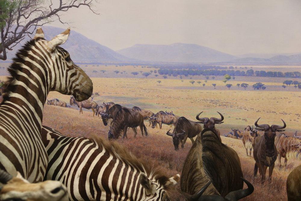 Serengeti group. AMNH.