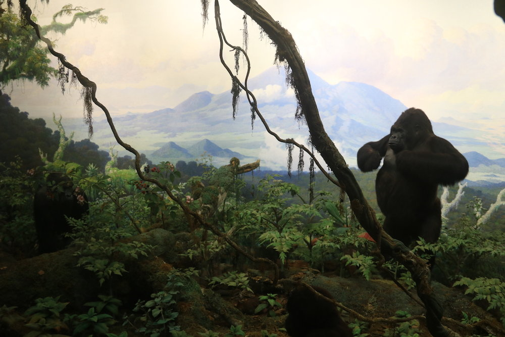 Gorilla display at AMNH