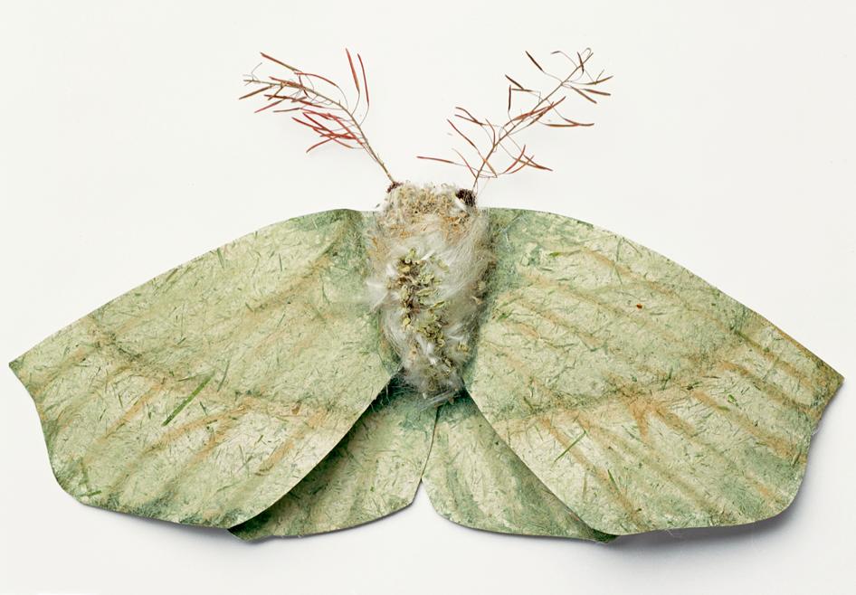 Large Emerald (Geometra Papilionaria)©Charlotte Craig