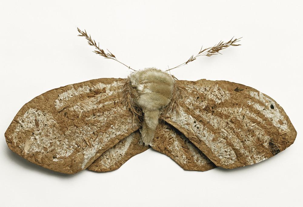 Antler Moth (Cerateryx Graminis)©Charlotte Craig