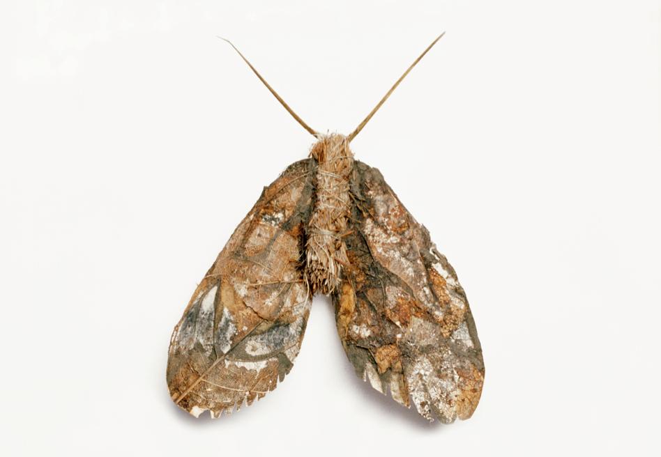Marbled Minor (Oligia Strigilis)©Charlotte Craig