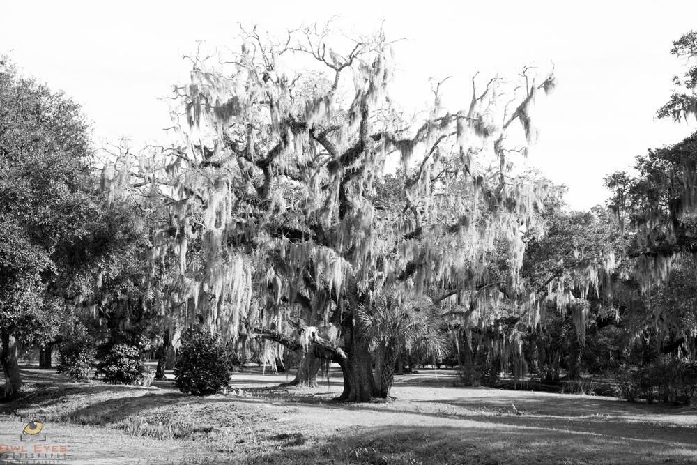 Avery Island Louisiana  Oak with Spanish Moss