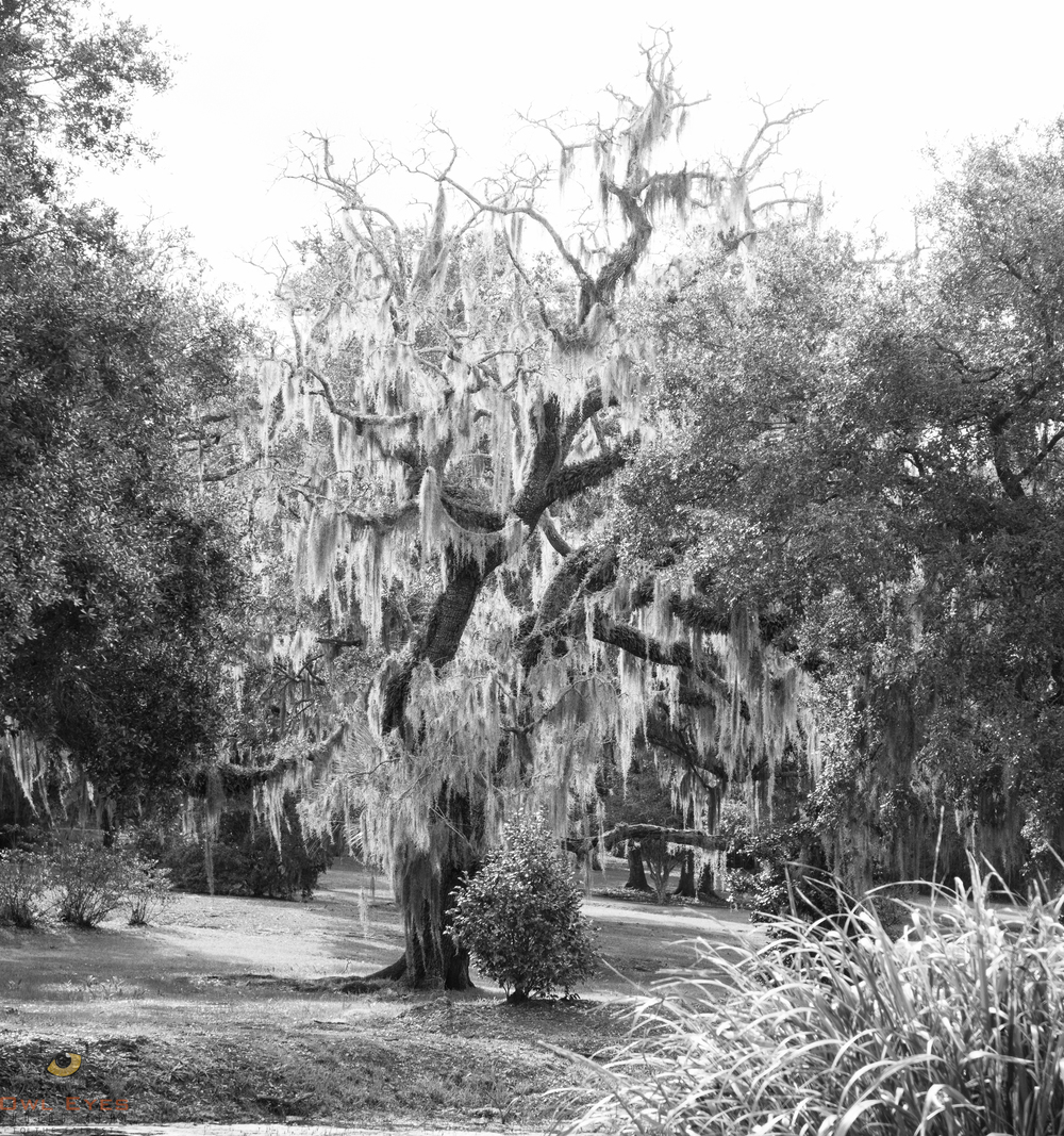 Avery Island Louisiana  Oak with Spanish Moss