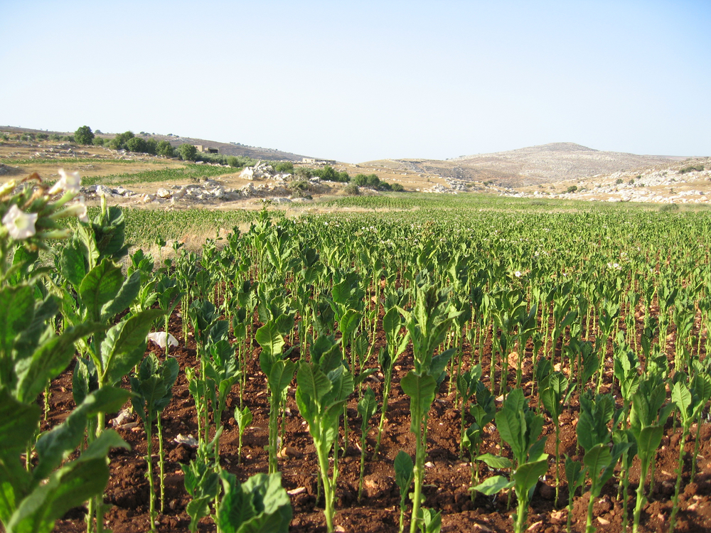 Tobacco fields, Rumaish, Lebanon. ©Elliott Colla (2005)