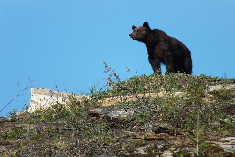 Grizzly lookout www.LardeauRiverAdventures.com.JPG