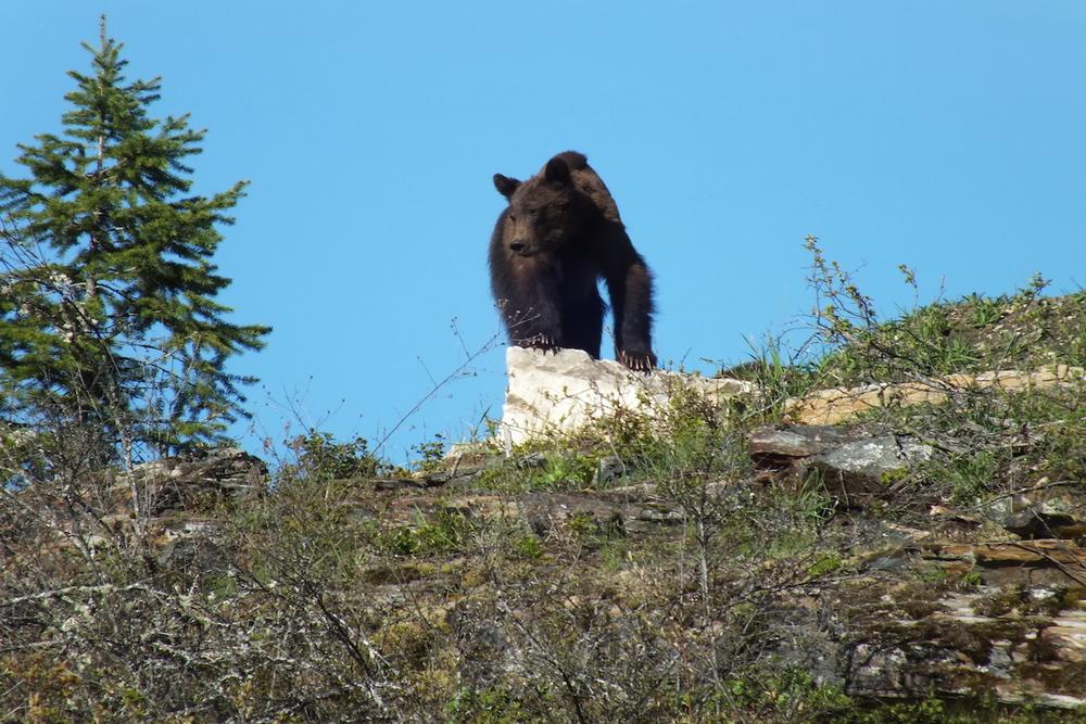 Grizzly Bear www.LardeauRiverAdventures.com.JPG