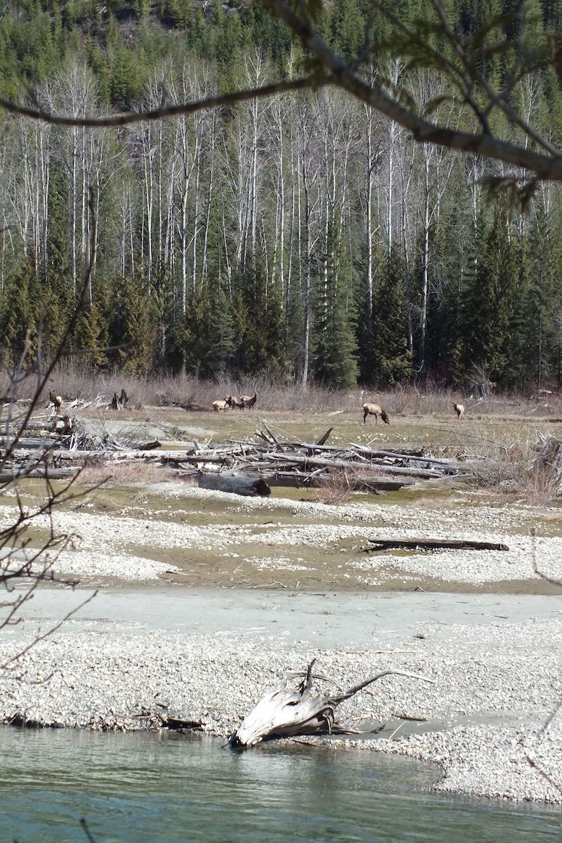 Lardeau River Elk www.LardeauRiverAdventures.com.jpg