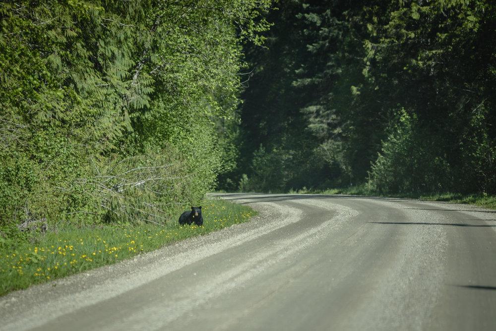 Black Bear - LardeauRiverAdventures.com.jpg