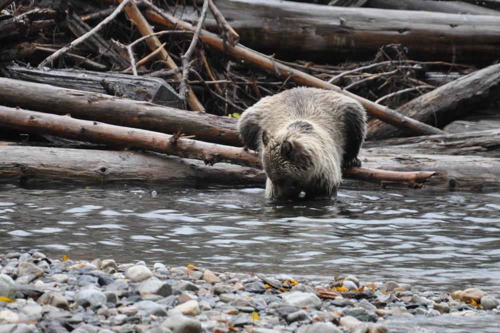 Fishing Grizzly-Lardeau River Adventures.JPG