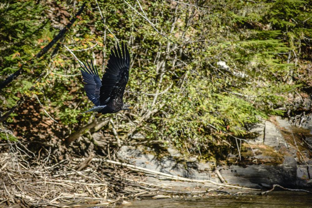 Bald Eagle-LardeauRiverAdventures.jpg