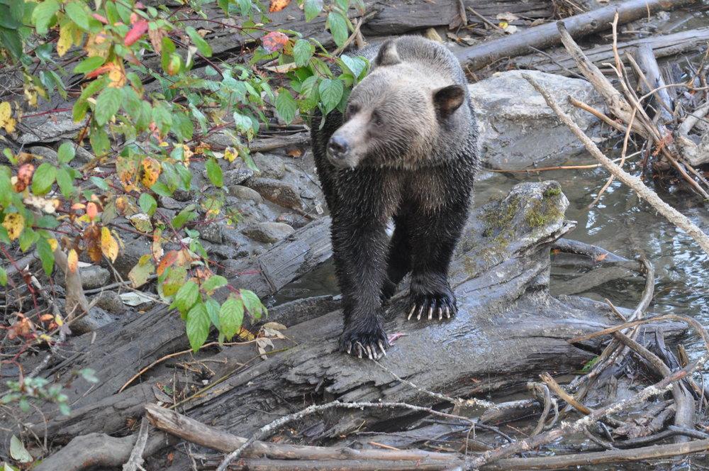 Grizzly with kokanee LardeauRiverAdventures.com.JPG