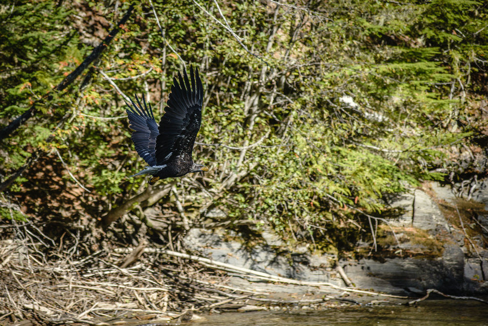 Young Bald Eagle - Lardeau River Adventures