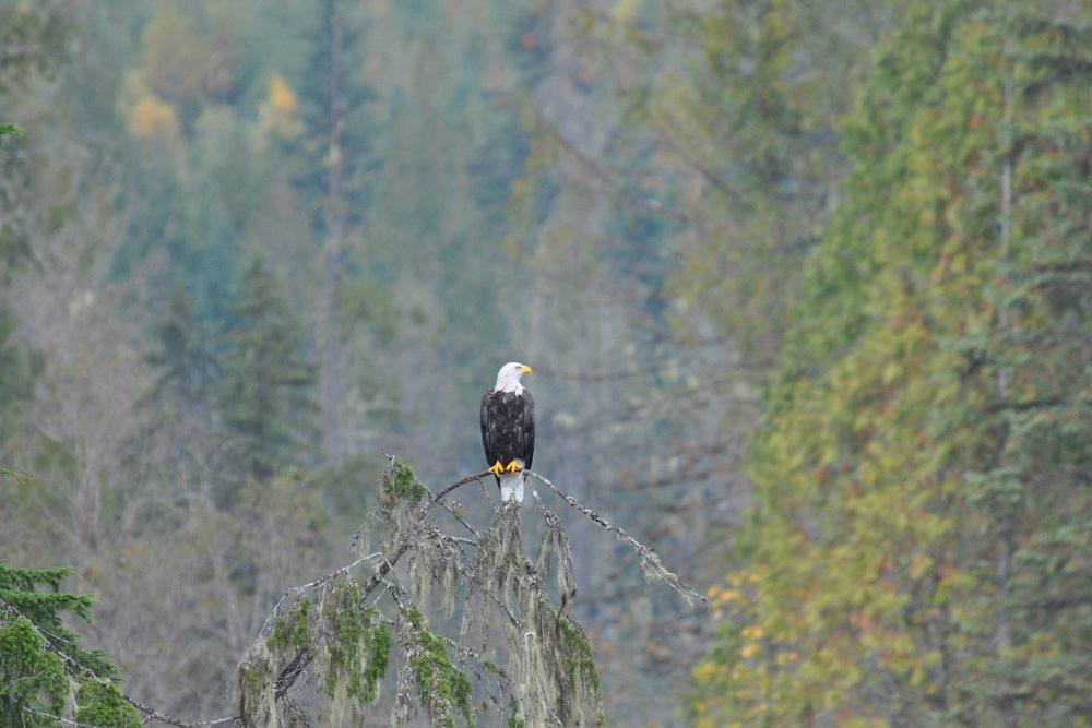 Lardeau Bald Eagle-Lardeau River Adventures.JPG