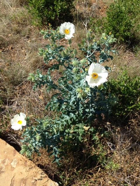 The White Prickly Poppy