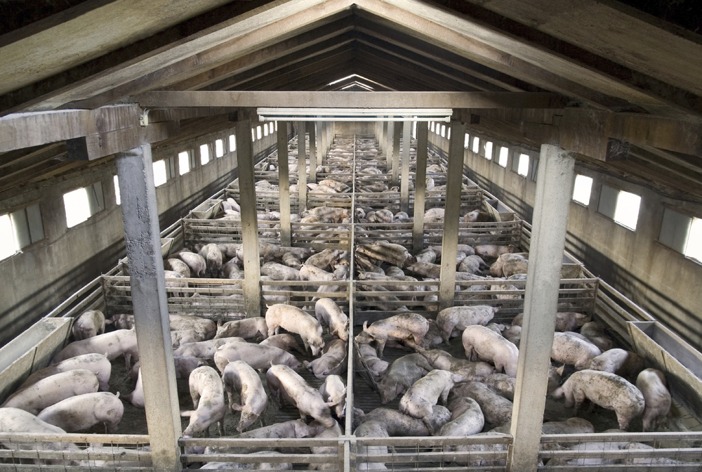 Feedlot raised pigs confined to a small space that is full of disease, filth and unnatural feed.