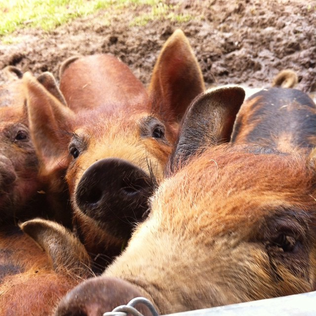 Pig-Ture time!