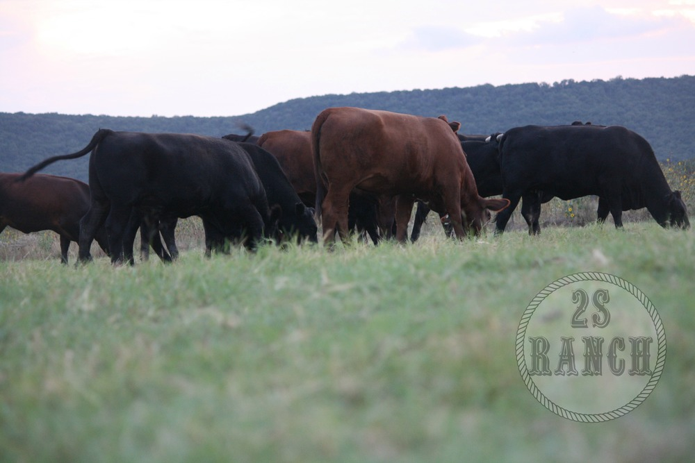 2S Ranch cattle stress-free, enjoying their natural environment and their natural diet.