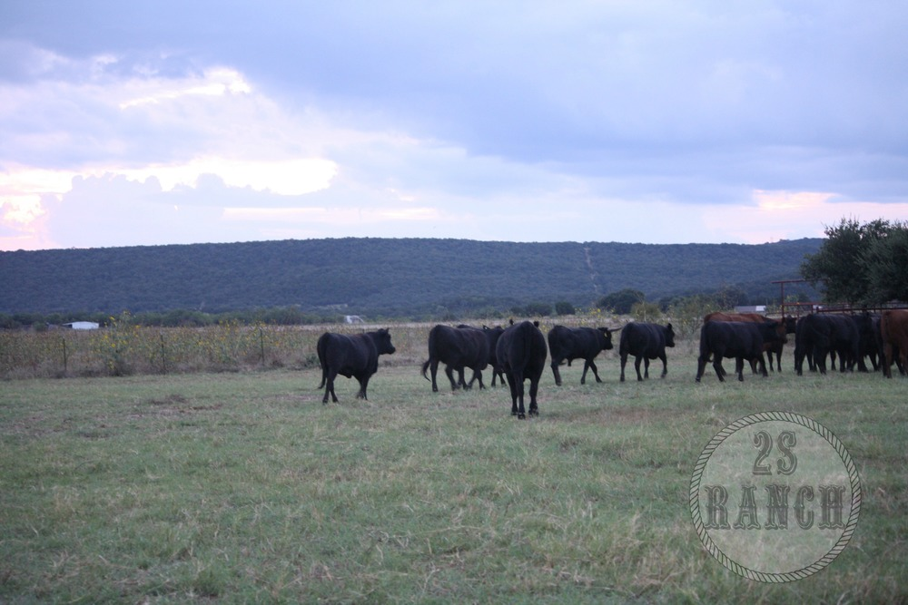 Cattle in Evening Time.jpg