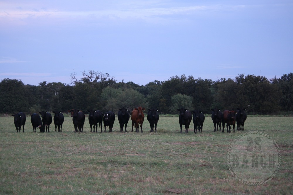 Some of our herd at the 2S Ranch raised with sustainable & humane ranching practices.