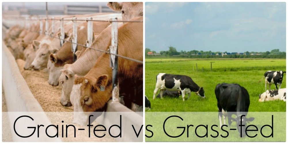 Grain-fed-vs.-Grass-fed-beef-1024x512.jpg