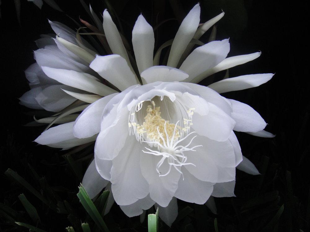 Night_Blooming_Cereus_Blossom.JPG