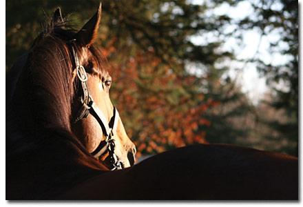 labeeb stallion