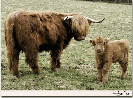 highland cow and calf postcard