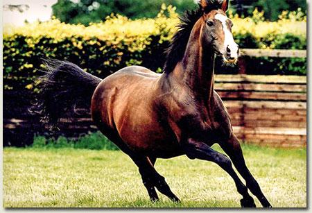 sadler's wells stallion
