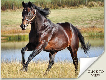 Way West Stallion in South Africa