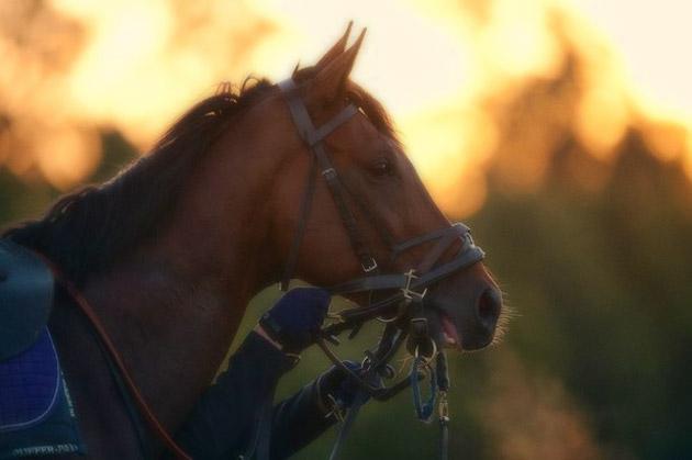 Frankel Stallion