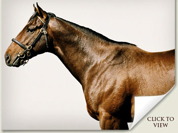 Shamardal Stallion