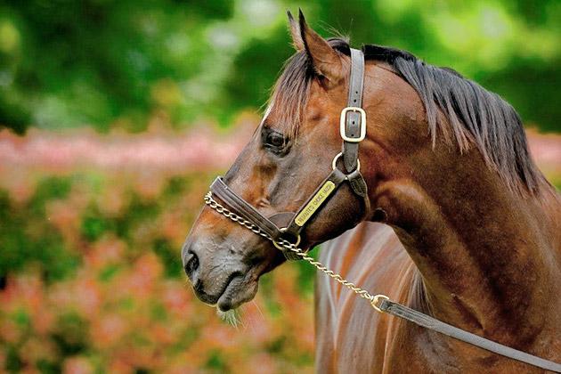 redoute's choice stallion