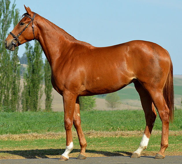 Lot 82: Banda (Kahal x Winter Wish)