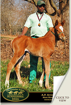 foal by ap arrow out of ransom