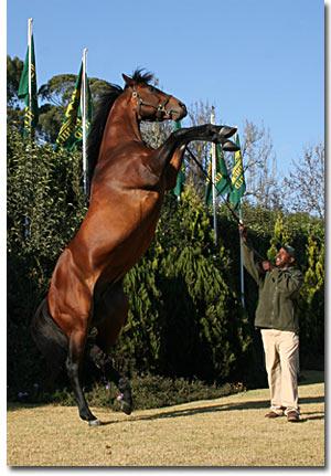 stallion kahal