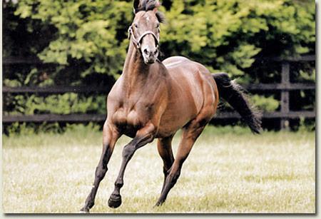 Montjeu Stallion