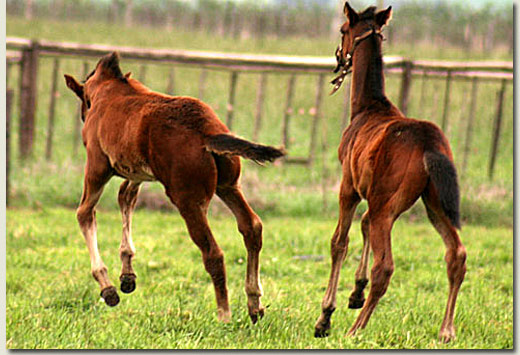 bouncing foals at summerhill stud
