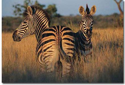 singita zebras