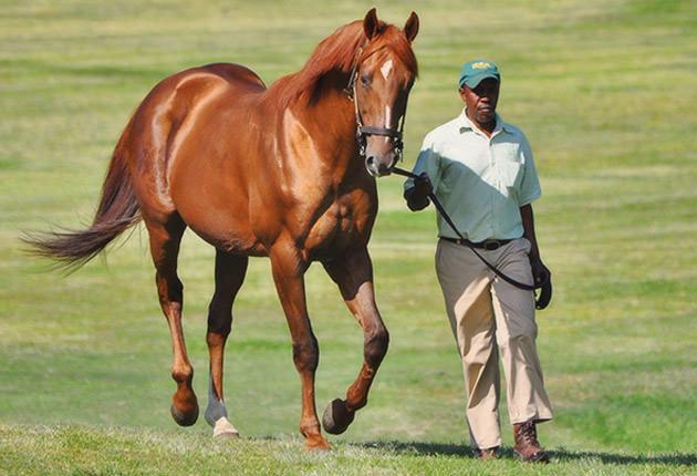 AP Arrow Stallion