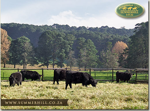 summerhill angus cattle
