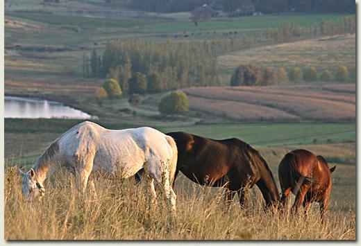 summerhill horses grazing (michael nefdt)